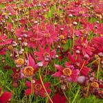 Meisjesogen - Coreopsis verticillata 'Ruby Red'