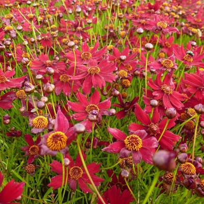 Coreopsis verticillata 'Ruby Red' - Meisjesogen - Coreopsis verticillata 'Ruby Red'