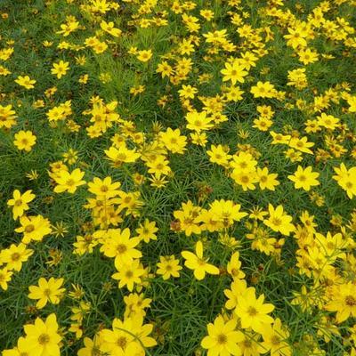 Coreopsis verticillata 'Zagreb' - Meisjesogen - Coreopsis verticillata 'Zagreb'