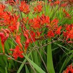 Montbretia - Crocosmia x crocosmiiflora 'Lucifer'