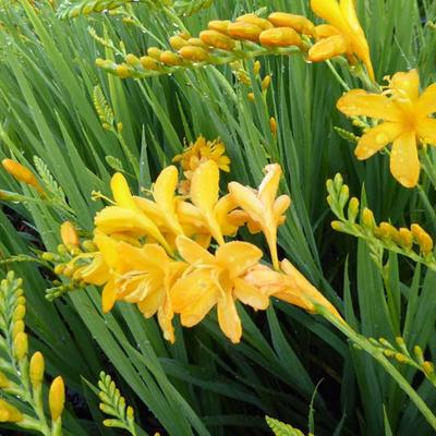 Crocosmia 'Paul's Best Yellow' - Montbretia