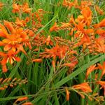 Crocosmia masoniorum - Montbretia - Crocosmia masoniorum