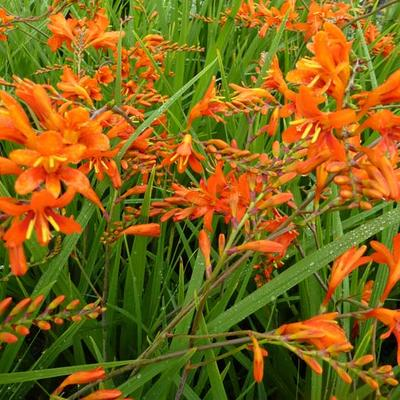 Crocosmia masoniorum - Montbretia