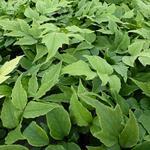Cyrtomium fortunei var. Clivicola - IJzervaren, smalle ijzervaren - Cyrtomium fortunei var. Clivicola