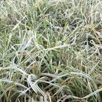 Dactylis glomerata 'Variegata' - Dactylis glomerata 'Variegata' - Kropaar