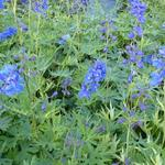 Delphinium belladonna 'Bellamosum' - Ridderspoor - Delphinium belladonna 'Bellamosum'