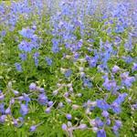 Ridderspoor - Delphinium belladonna 'Piccolo'