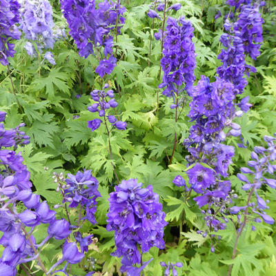 Delphinium 'Black Knight' - Ridderspoor - Delphinium 'Black Knight'