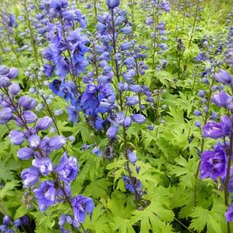 Delphinium pacific-giant 'Blue Jay'