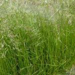 Deschampsia cespitosa - Smele