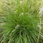 Deschampsia cespitosa 'Bronzeschleier' - Gewone smele - Deschampsia cespitosa 'Bronzeschleier'
