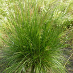 Deschampsia cespitosa 'Goldtau' - Ruwe smele - Deschampsia cespitosa 'Goldtau'