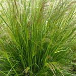 Deschampsia cespitosa 'Pixie Fountain' - Smele - Deschampsia cespitosa 'Pixie Fountain'