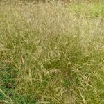 Deschampsia cespitosa 'Schottland' - Smele - Deschampsia cespitosa 'Schottland'