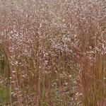 Deschampsia flexuosa - Smele - Deschampsia flexuosa
