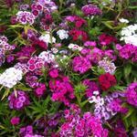 Dianthus barbatus - Dianthus barbatus - Duizendschoon