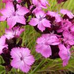 Dianthus carthusianorum - Karthuizeranjer - Dianthus carthusianorum