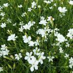 Dianthus deltoides 'Albiflorus' - Steenanjer/Zwolse anjer - Dianthus deltoides 'Albiflorus'