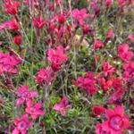 Dianthus deltoides 'Flashing Light' - Steenanjer - Dianthus deltoides 'Flashing Light'