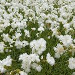 Grasanjer - Dianthus plumarius 'Albus Plenus'