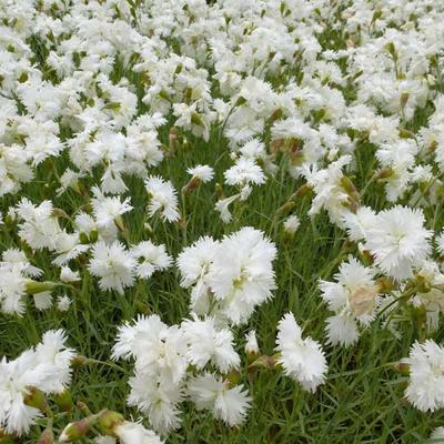 Dianthus plumarius 'Albus Plenus' - Grasanjer - Dianthus plumarius 'Albus Plenus'