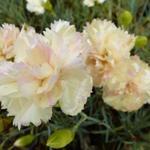 Grasanjer - Dianthus plumarius 'Devon Cream'