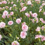 Dianthus plumarius 'Doris' - Grasanjer - Dianthus plumarius 'Doris'