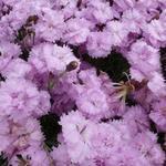 Dianthus plumarius 'Pike's Pink' - Grasanjer - Dianthus plumarius 'Pike's Pink'