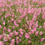 Diascia barberae 'Ruby Field' - Elfenspoor