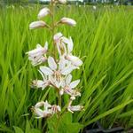 Dictamnus albus 'Albiflorus' - Dictamnus albus 'Albiflorus' - Vuurwerkplant