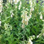 Digitalis grandiflora - Grootbloemige vingerhoedskruid - Digitalis grandiflora