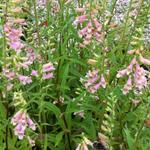 Digitalis 'Glory of Roundway' - Vingerhoedskruid