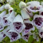 Vingerhoedskruid - Digitalis purpurea 'Pam's Choice