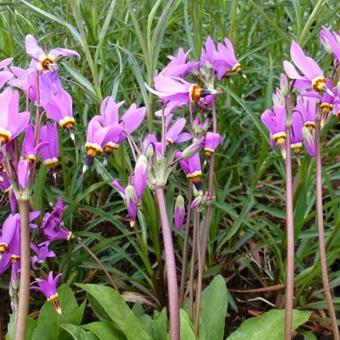 Dodecatheon meadia 'Queen Victoria'