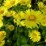 Doronicum orientale 'Little Leo' - Doronicum orientale 'Little Leo' - Voorjaarszonnebloem/Gele margriet