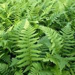 Dryopteris affinis - Dryopteris affinis - Goudschubvaren/Schildvaren