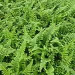 Dryopteris affinis 'Cristata' - Dryopteris affinis 'Cristata' - Goudschubvaren/Schildvaren