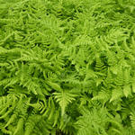 Dryopteris dilatata - Brede stekelvaren - Dryopteris dilatata