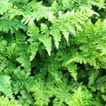 Dryopteris dilatata 'Crispa Whiteside' - Dryopteris dilatata 'Crispa Whiteside' - Brede stekelvaren