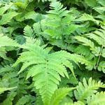 Dryopteris goldiana - Reuzemannetjesvaren - Dryopteris goldiana