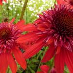 Echinacea purpurea 'Eccentric' - Rode zonnehoed - Echinacea purpurea 'Eccentric'
