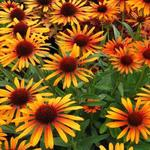 Echinacea purpurea 'Flame Thrower' - Rode zonnehoed