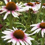 Echinacea purpurea 'Funky White' - Rode zonnehoed - Echinacea purpurea 'Funky White'