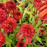 Echinacea purpurea 'Hot Papaya'  - Rode zonnehoed