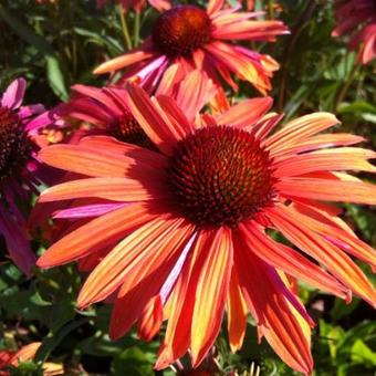 Echinacea purpurea 'Orange Passion'