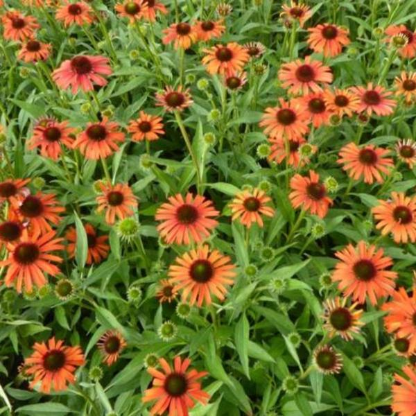 Echinacea purpurea 'Orange Skipper'