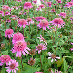 Echinacea purpurea 'Pink Double Delight' - Rode zonnehoed