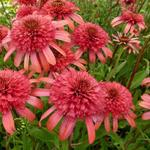 Echinacea purpurea 'SECRET Passion' - Rode zonnehoed