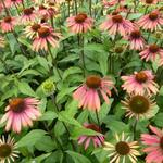 Rode Zonnehoed - Echinacea purpurea 'Summer Cocktail'