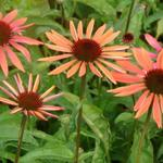 Echinacea purpurea 'Sundown' - Rode zonnehoed